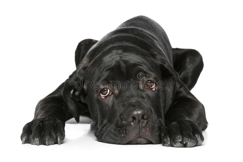 Download Cane Corso Dog Puppy Lying On A White Stock Image - Image: 18753441