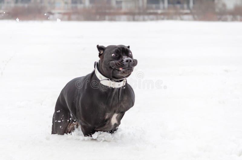 Cane Corso está corriendo a través del campo Paseos enérgicos jovenes del perro imagen de archivo