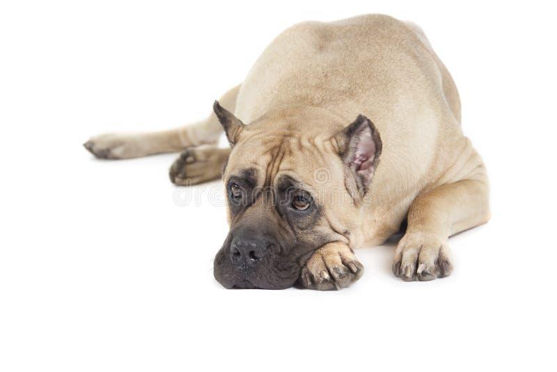 Cane Corso-Hund lizenzfreie stockfotos