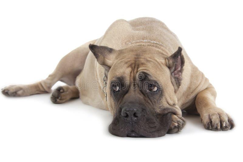 Cane Corso-Hund auf weißem Hintergrund stockfotografie