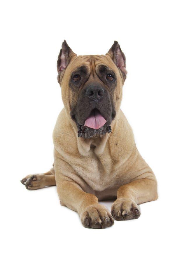 Cane Corso-Hund auf weißem Hintergrund stockfoto