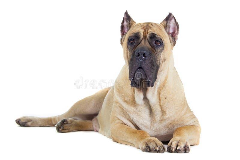 Cane Corso-Hund auf weißem Hintergrund lizenzfreie stockfotografie