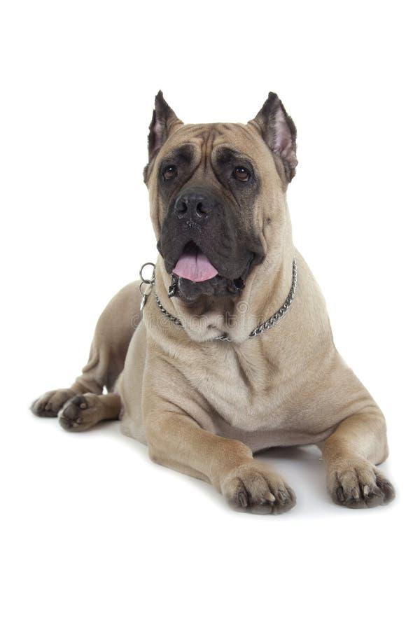 Cane Corso-Hunde lizenzfreie stockfotografie