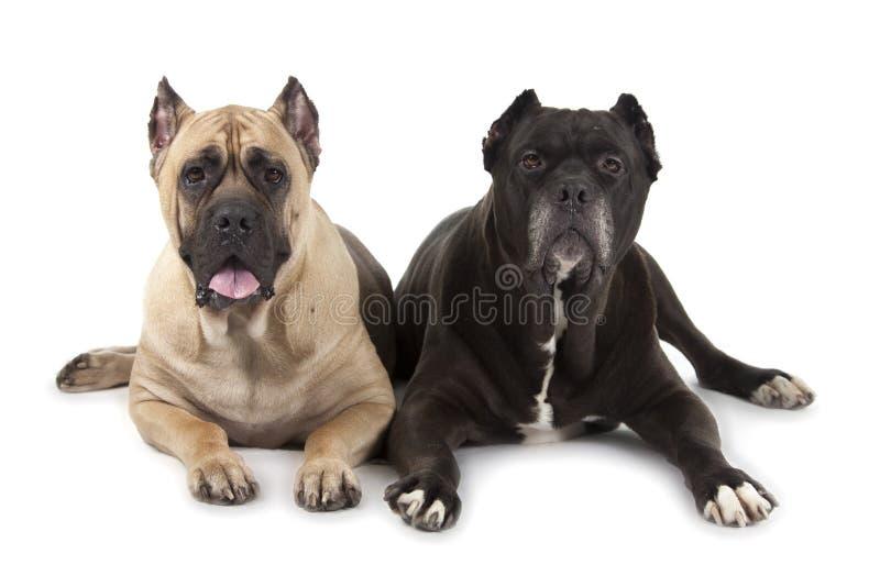 Cane Corso-Hunde lizenzfreie stockfotos