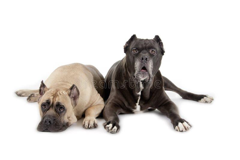 Cane Corso-Hunde auf weißem Hintergrund stockbild