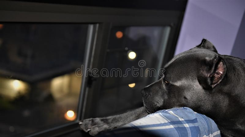 Cane corso italian mastiff guard night window. There is cane two year old cane corso italian mastiff looking at night window , his behavor as defender of home royalty free stock photos
