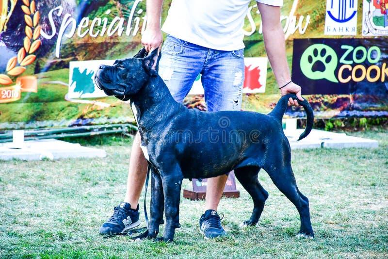 Cane corso italiano dog exhibition Sofia, Cane Corso Sofia Cup September 23 2018. Cane Corso with holder during Sofia Cup September 2018.Junior/ . Judges: Luigi stock photography