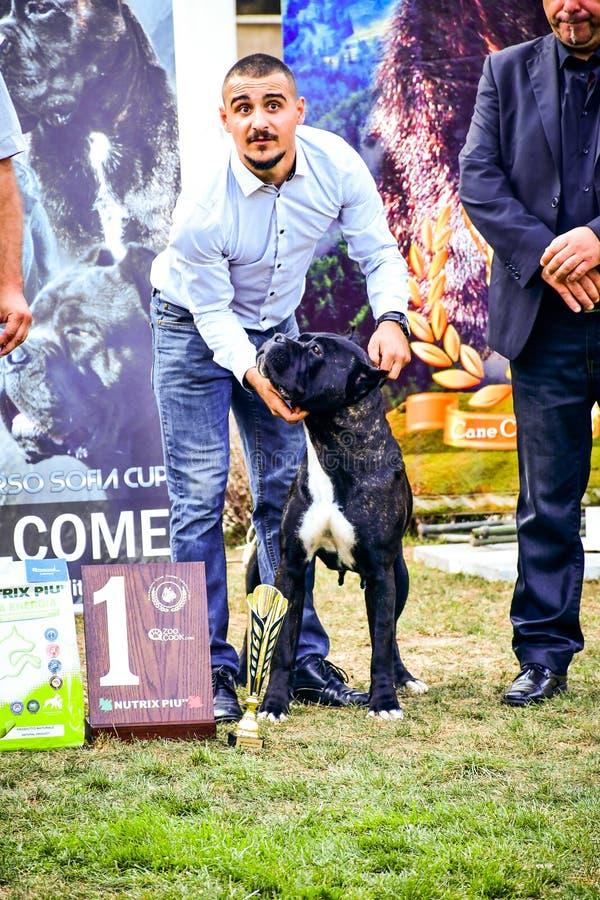 Cane corso italiano dog exhibition Sofia, Cane Corso Sofia Cup September 23 2018. Cane Corso with holder during Sofia Cup September 2018.Junior/ . Judges: Luigi royalty free stock images