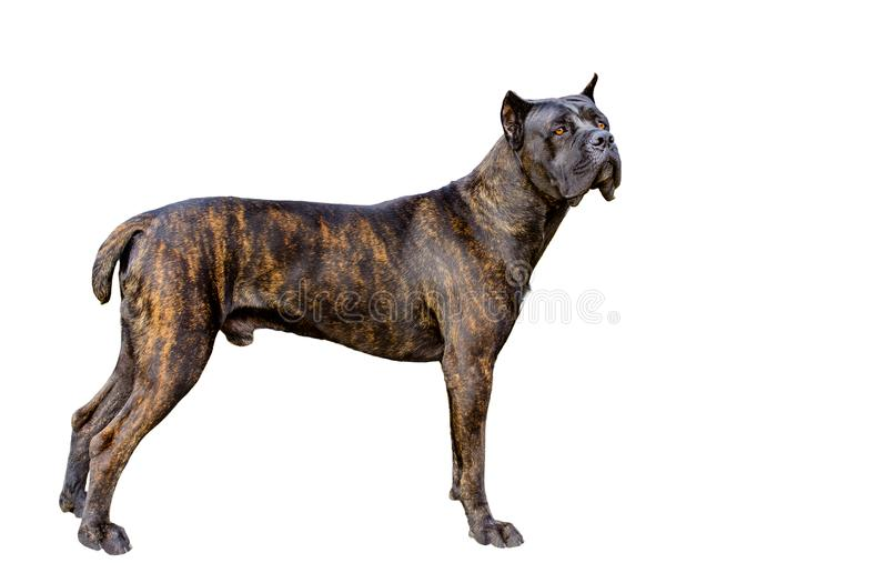 Cane Corso op wit royalty-vrije stock afbeelding