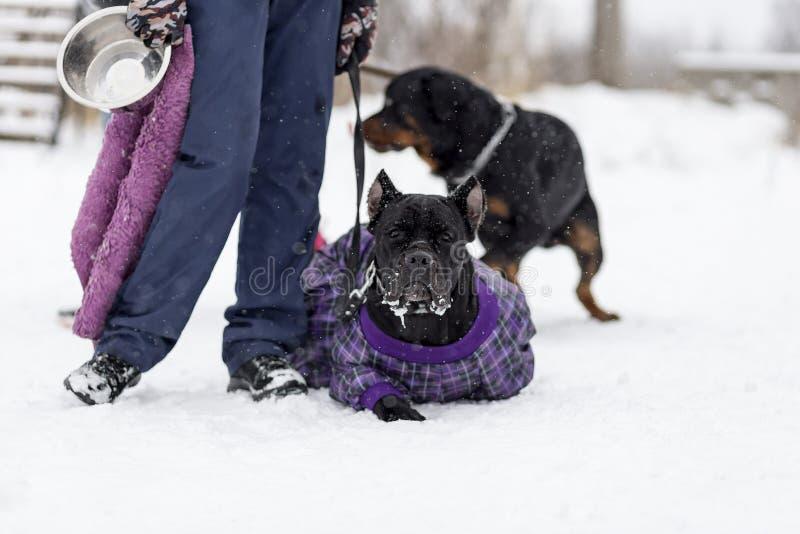Cane Corso para uma caminhada no inverno, fotos de stock