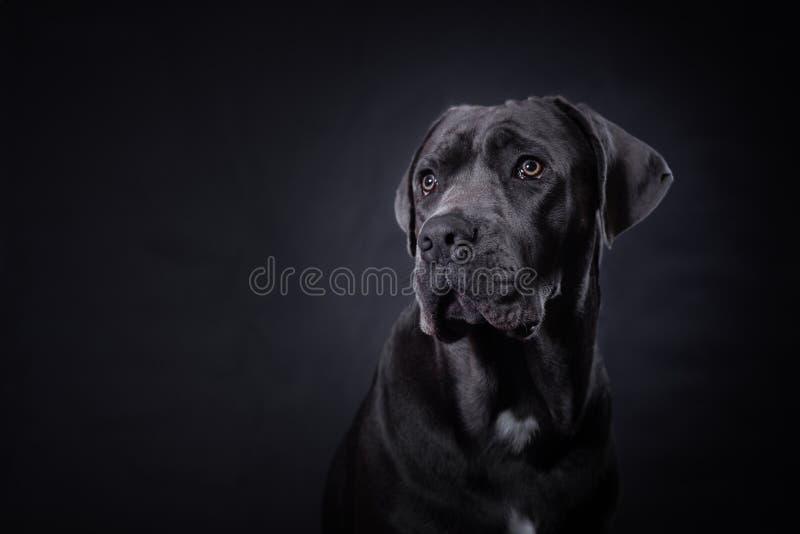 Cane Corso Portrait fotografia stock libera da diritti