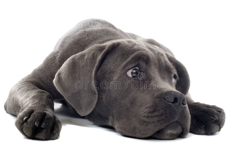 Cane corso pup. Isolated on a white background stock photos