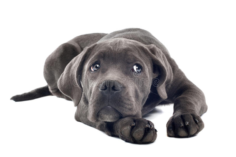 Download Cane corso puppy stock photo. Image of bred, over, small - 21734016