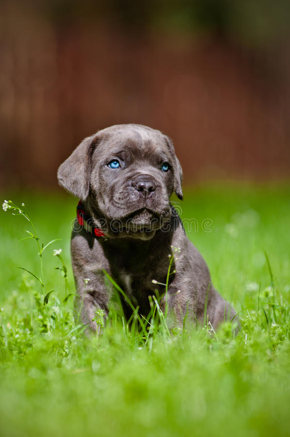 Cane Corso Puppy With Blue Eyes Royalty Free Stock Photos