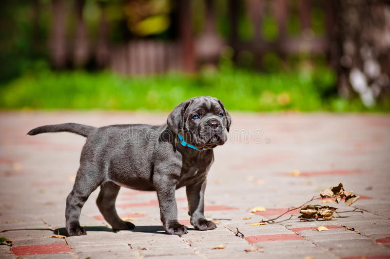Download Cane Corso Puppy With Blue Eyes Stock Photo - Image: 33181868