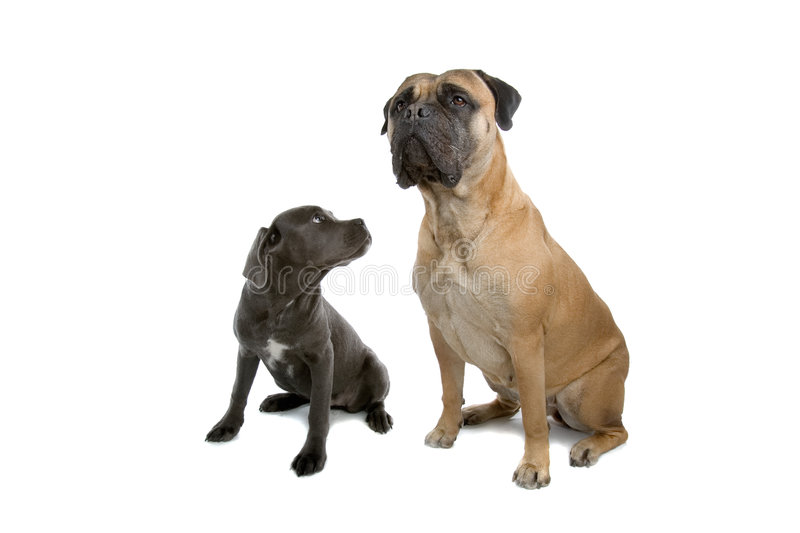 Cane-corso puppy and a bull mastiff dogs. Isolated on a white background stock photography