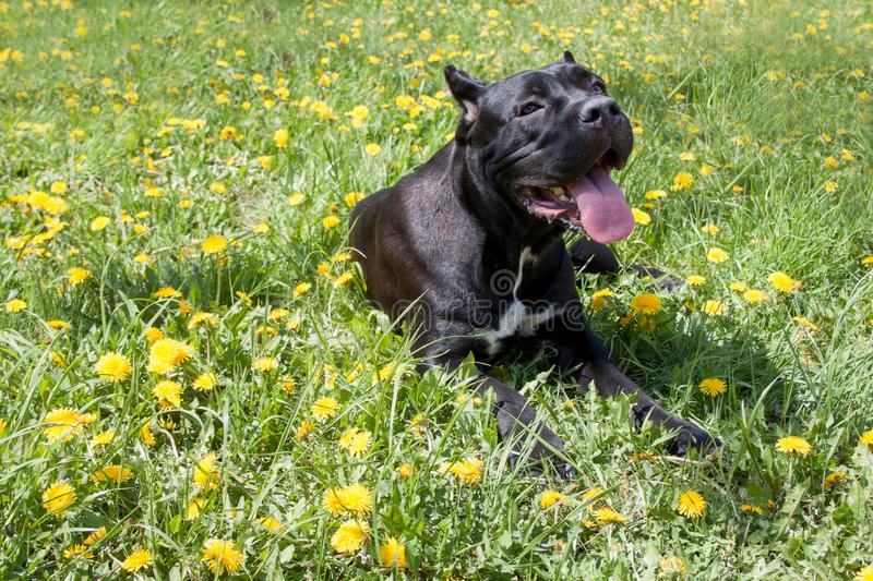 Cane corso puppy is lying on a green meadow. Cane corso italiano or italian mastiff. Pet animals. stock photo