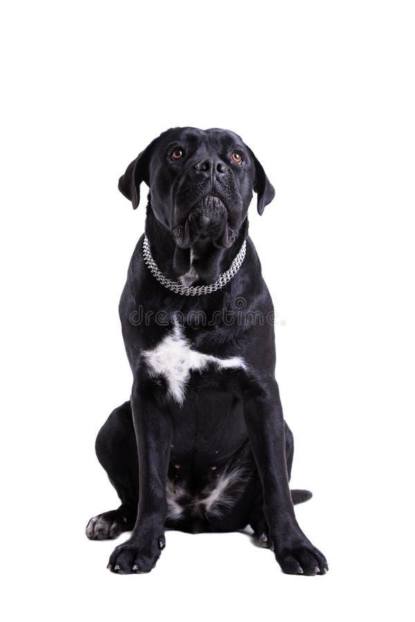Download Cane Corso purebred dog stock image. Image of domestic - 23123693