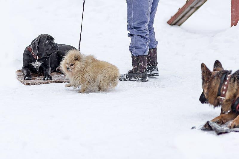 Cane Corso und Hunde in Winter Park stockbild