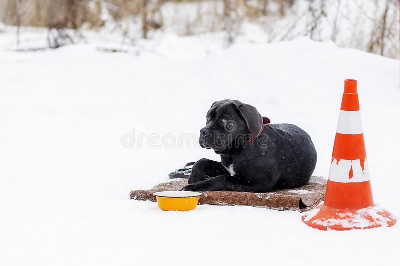 The cane Corso waits for his master on the street stock photos