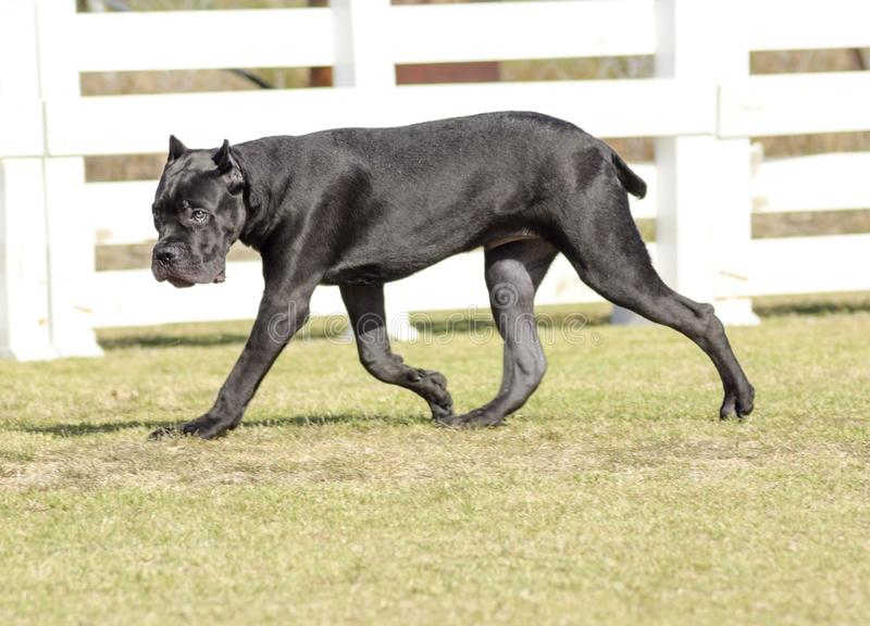 Cane Corso. A young, beautiful black and white medium sized Cane Corso dog with cropped ears running on the grass. The Italian Mastiff is a powerfully built stock photo