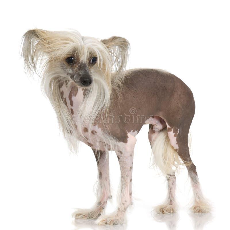 Cane crestato cinese - Hairless immagini stock libere da diritti