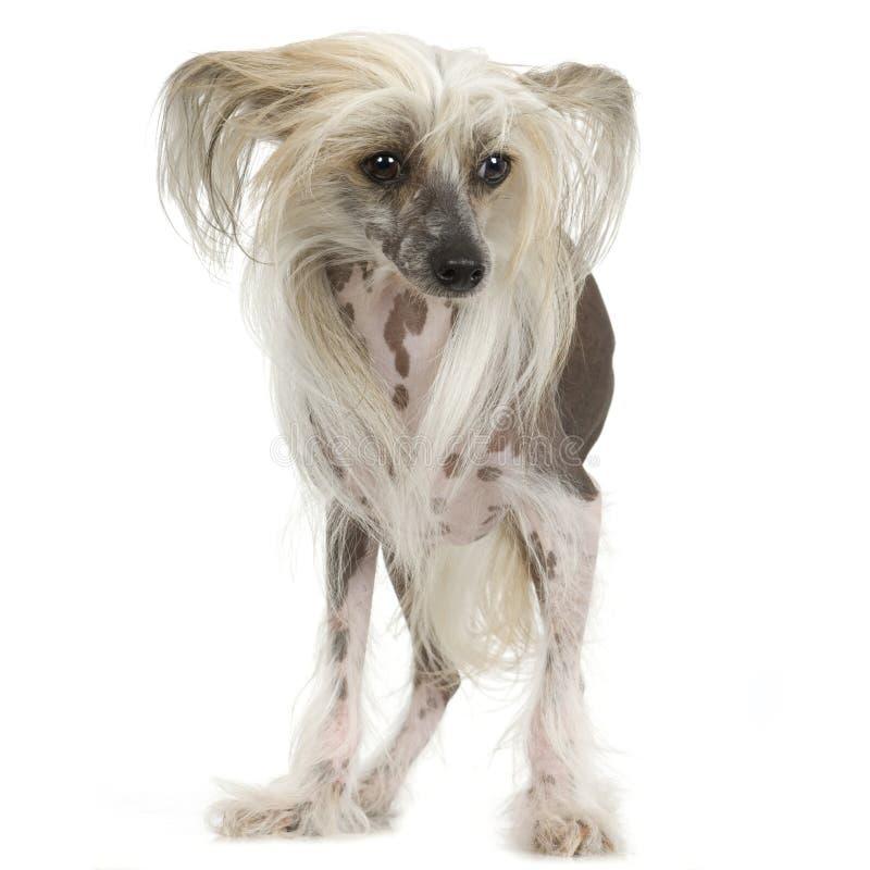 Cane crestato cinese - Hairless immagine stock libera da diritti