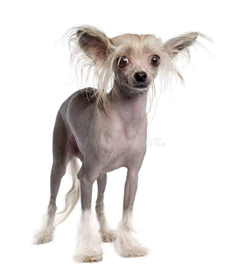 Cane crestato cinese - Hairless fotografie stock