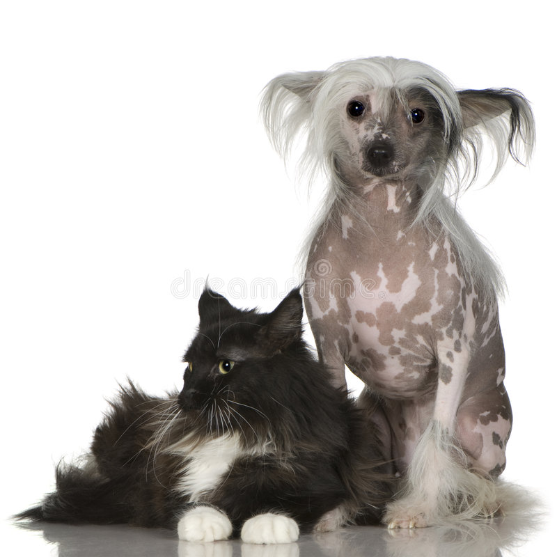 Cane crestato cinese - Hairless e coon della Maine fotografia stock