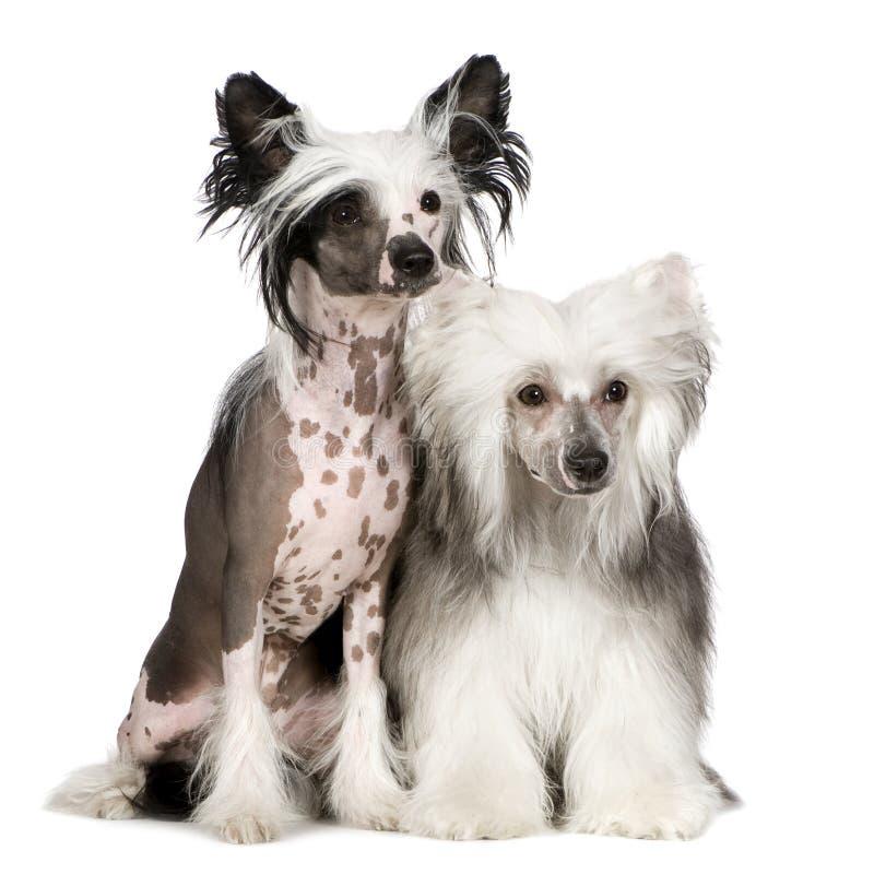 Cane crestato cinese - Powderpuff fotografia stock