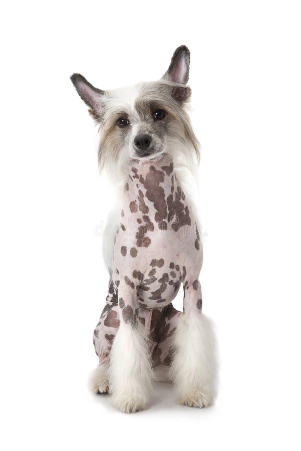 Cane crestato di cinese glabro che si siede sopra il bianco immagine stock