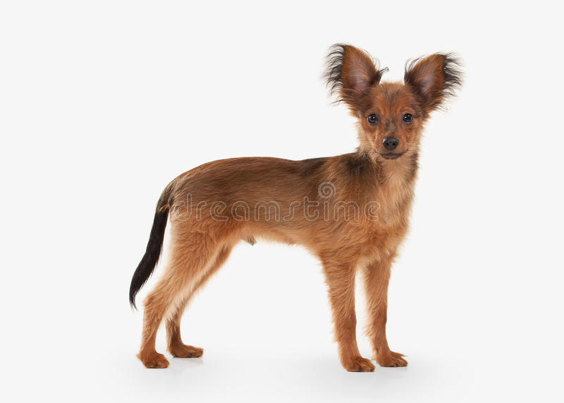 Cane Cucciolo russo del terrier di giocattolo su fondo bianco fotografia stock libera da diritti