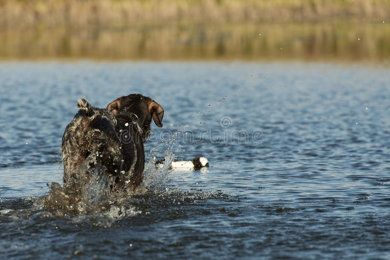 Cane da caccia immagine stock