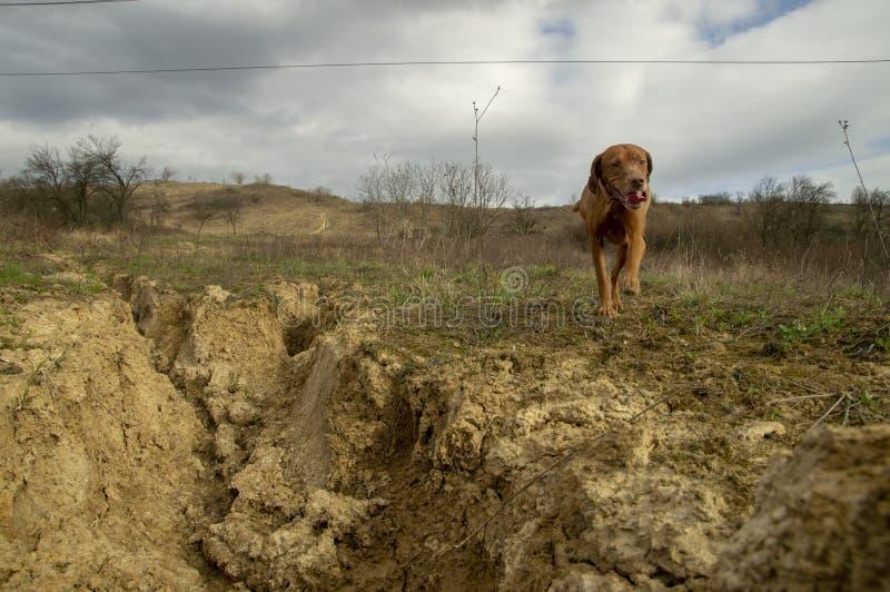 Cane da caccia allegro per una passeggiata immagine stock