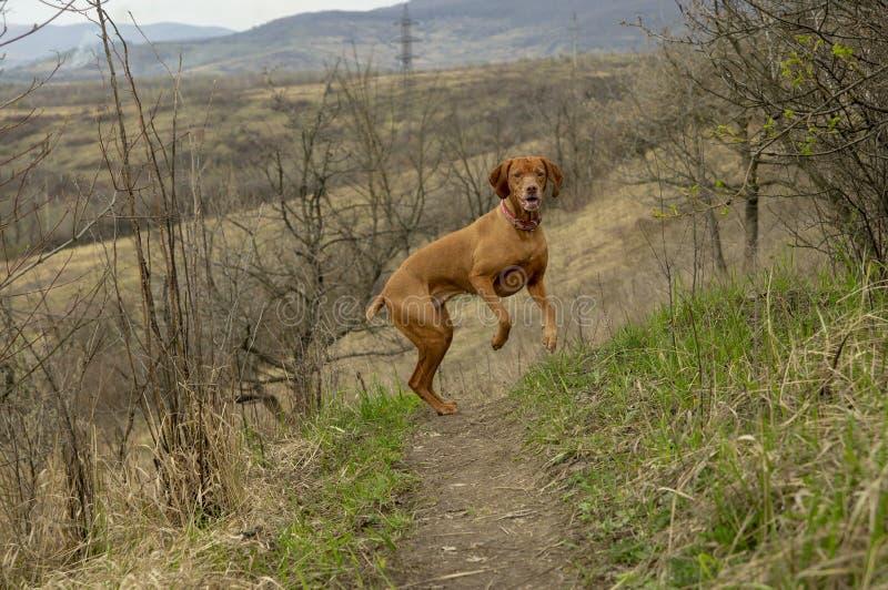 Cane da caccia allegro per una passeggiata fotografia stock libera da diritti