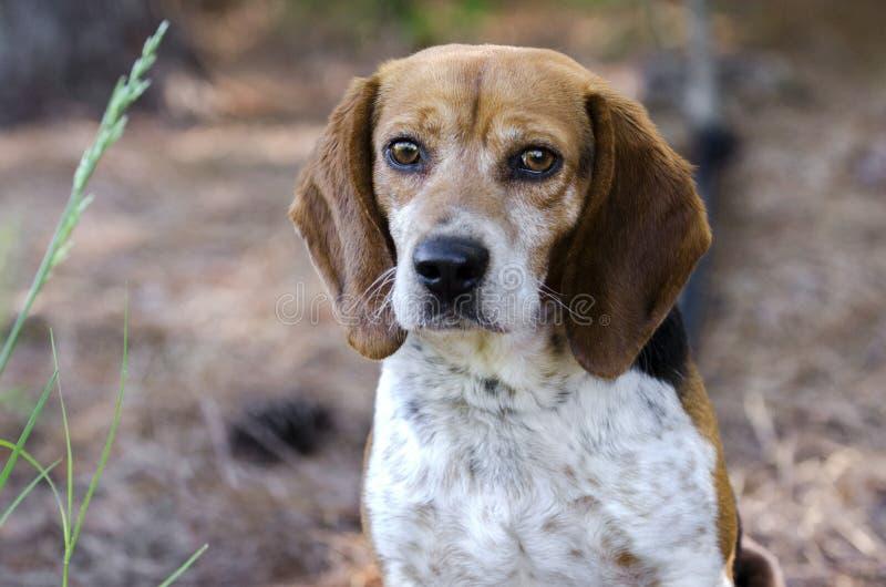Cane da caccia del coniglio del cane da lepre fotografie stock