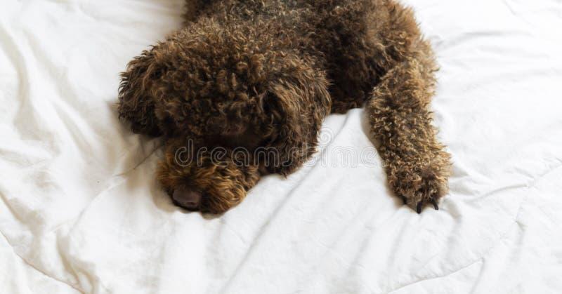 Cane da caccia in palude spagnolo che mette su letto umano immagini stock libere da diritti