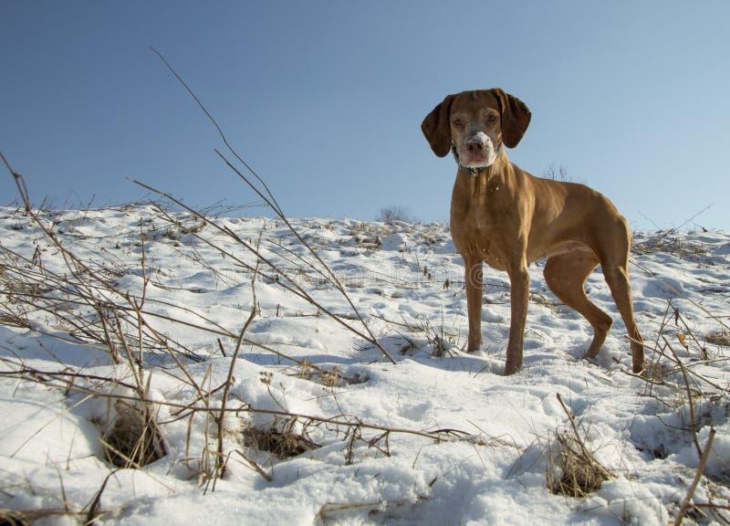 Cane da caccia per una passeggiata immagine stock