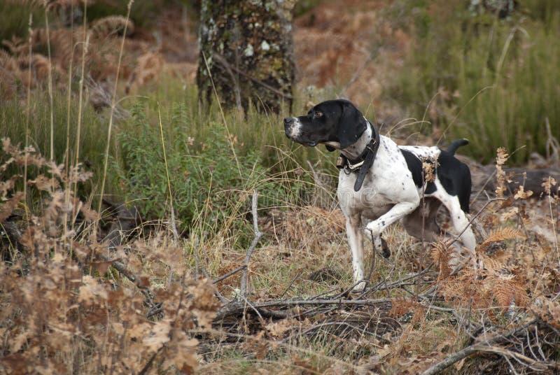 Cane da caccia, razza del puntatore, indicante fotografie stock libere da diritti