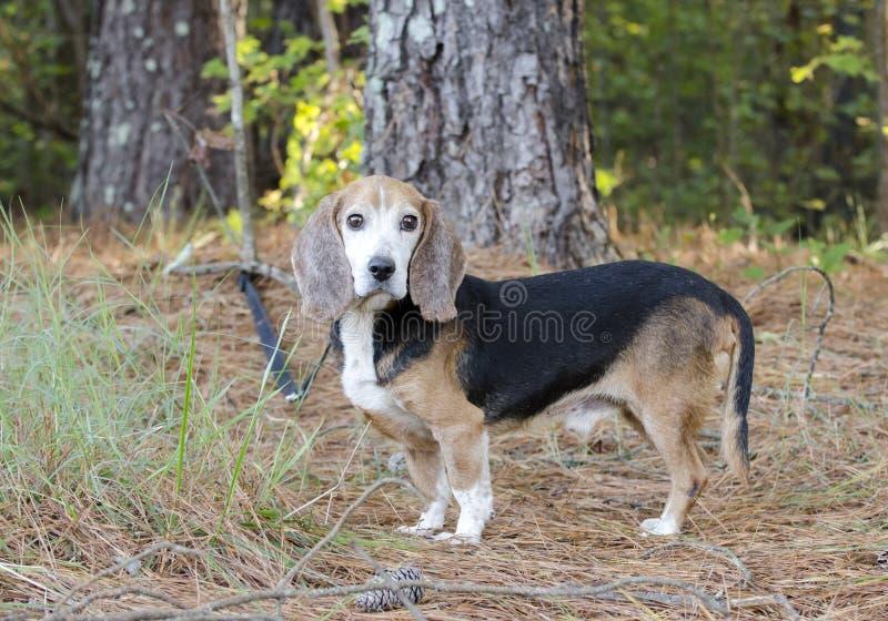 Cane da caccia senior del coniglio del cane da lepre fotografia stock