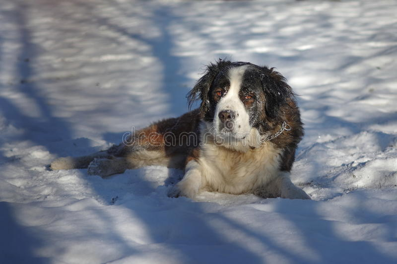 Cane da guardia di Mosca fotografia stock