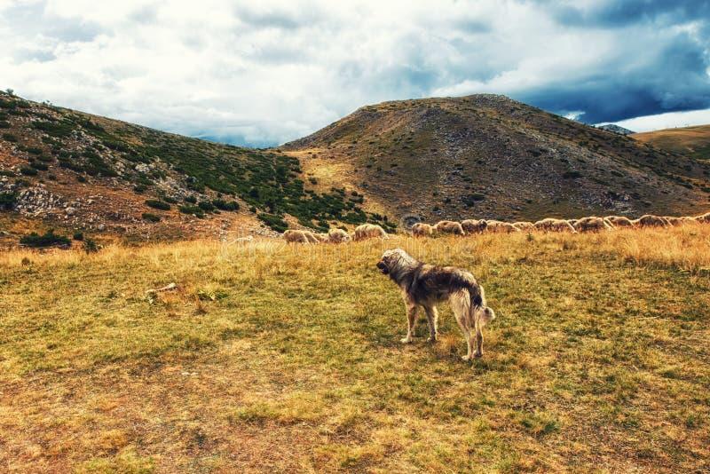 cane da guardia e pecore fotografie stock libere da diritti