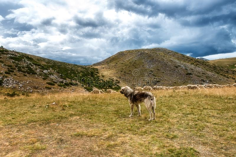 cane da guardia e pecore fotografia stock