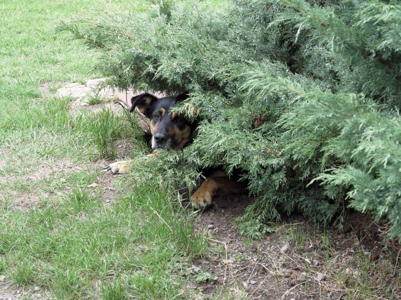 Cane da guardia nascosto fotografia stock libera da diritti