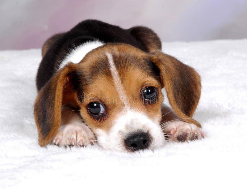 Cane da lepre 3 fotografia stock libera da diritti