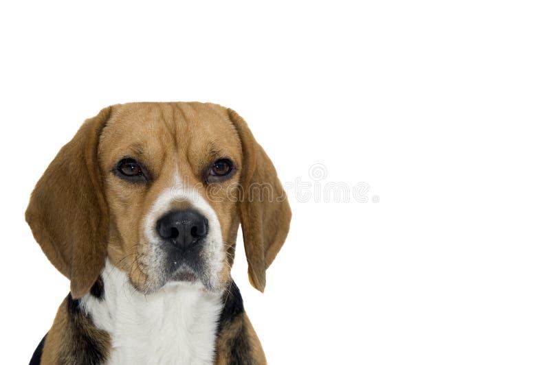 Cane da lepre immagine stock