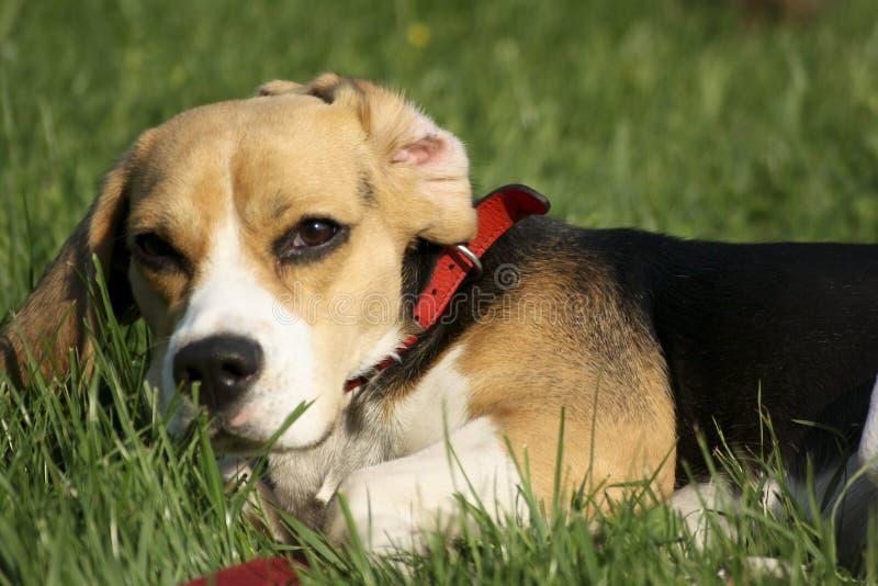 cane da lepre fotografie stock libere da diritti