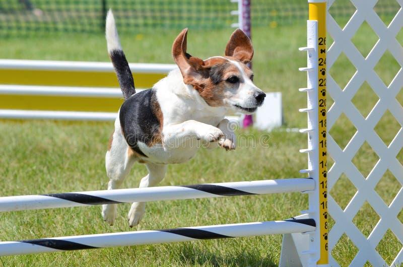 Cane da lepre ad una prova di agilità del cane fotografia stock libera da diritti