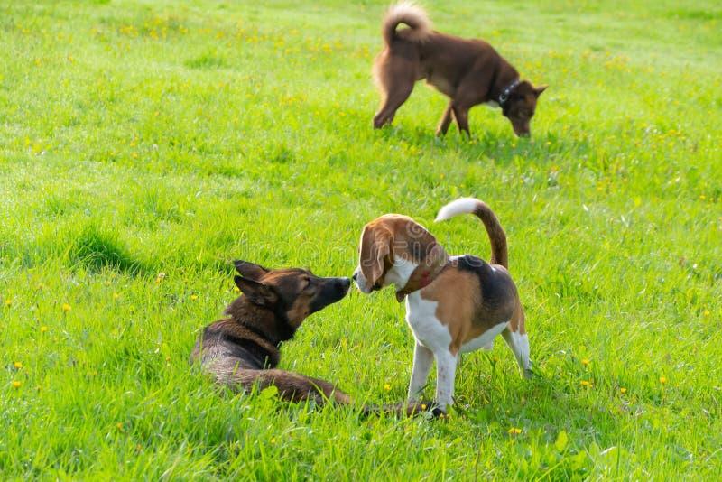 Cane da lepre alla spiaggia, Oregon immagini stock