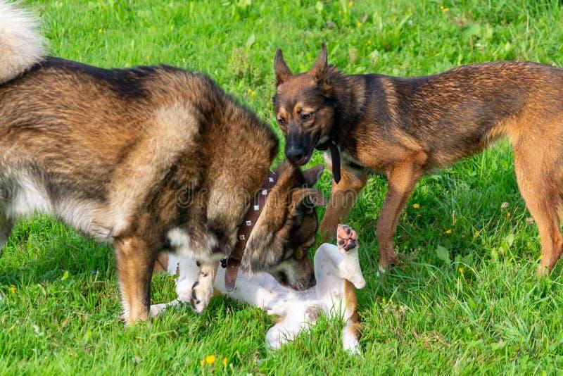 Cane da lepre alla spiaggia, Oregon immagini stock libere da diritti